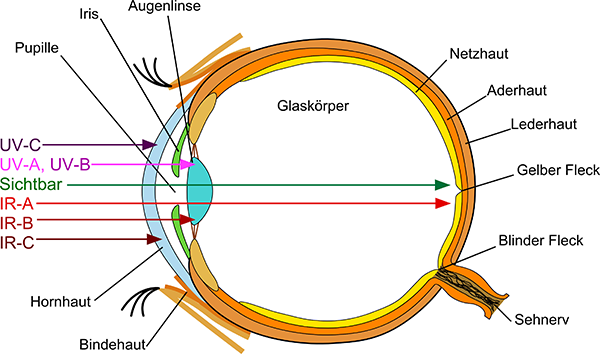 Schematic representation of the eye